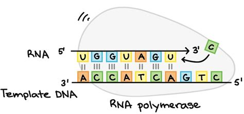 Final Genetics Exam Flashcards Easy Notecards Rna Sequence From Dna Template