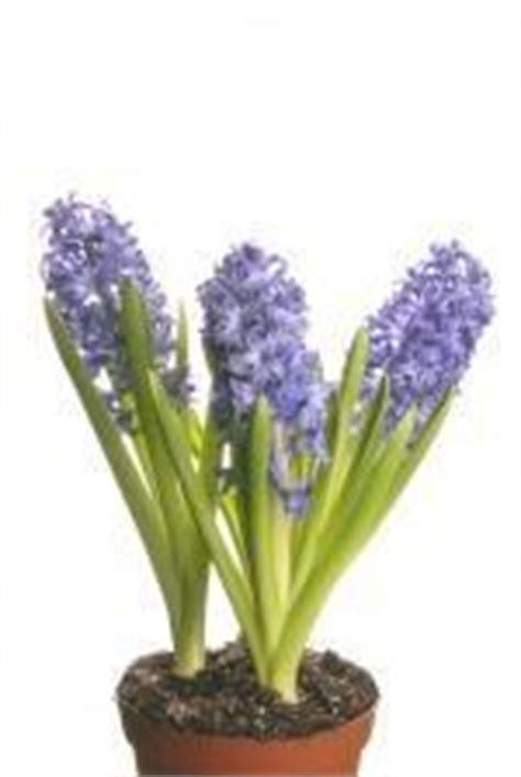 fiore lilla molto profumato piante profumate in balcone