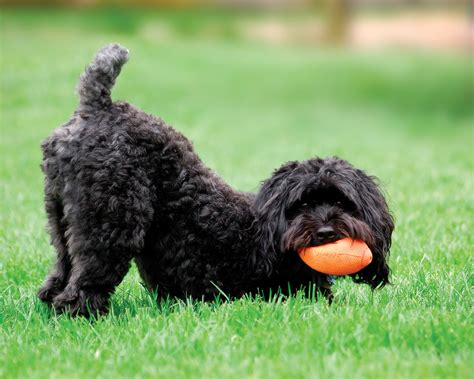 keystone puppies review image gallery schnoodle
