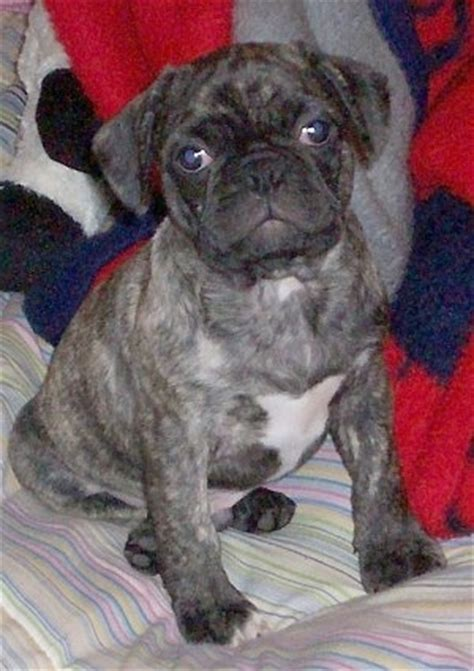 pugs vs new pugs frenchie pug breed information and pictures