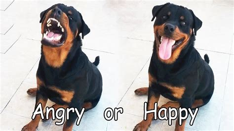 rottweiler angry angry rottweiler www imgkid the image kid has it