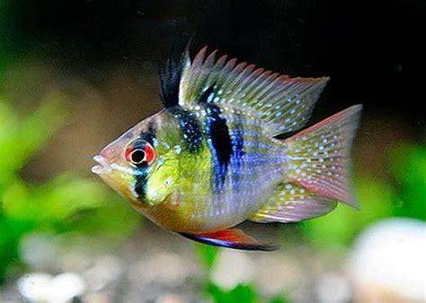 peluang usaha budidaya ikan indonesia peluang usaha budidaya ikan ramirezi dan analisa usahanya