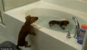 2 dogs in a bathtub the daschunds that love bath time hilarious moment owner