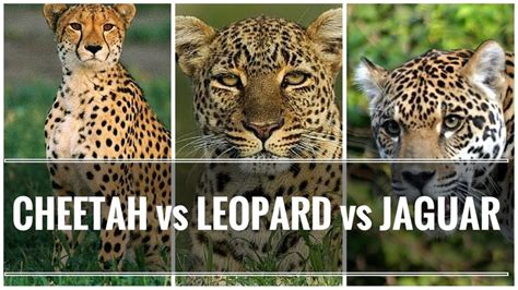 difference between jaguar leopard and panther 1713 best ideas about pins you must see on