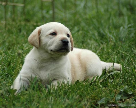 lab puppies puppy dogs white labrador retriever puppies
