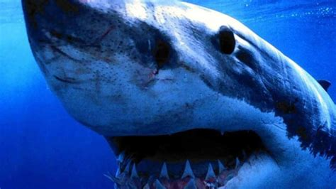 imagenes para fondo de pantalla de tiburones fondo pantalla cabeza tibur 243 n