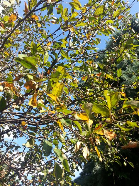 our crab apple tree recently started dropping leaves they turn yellow then ask an expert