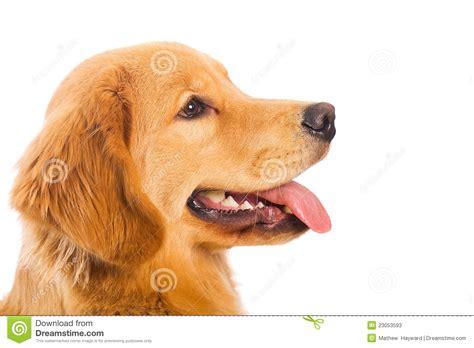puppy profile breed profile golden retriever about design bild