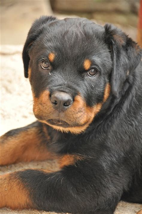 how to potty a small how to potty a rottweiler puppy
