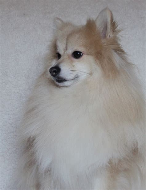 shih tzu cloudy blue honden op hp pagina 5 hondenforum