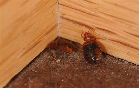 can you see bed bugs on your skin bed bugs advantage pest control