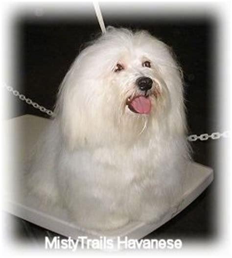 shih tzu vs coton de tulear grooming haired dogs de matting a dogs coat grooming
