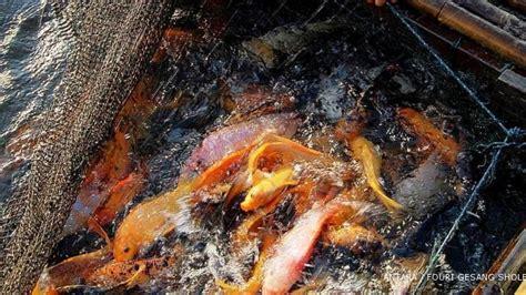 Lu Kolam Ikan laba dari makanan berbahan ikan air tawar