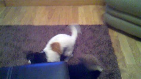 pomeranian vs terrier terrier shih tzu mix shiht vs kimmy gibbler pomeranian terrier