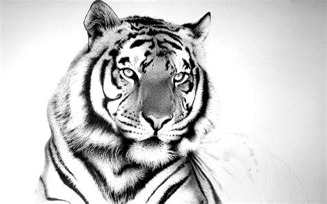 wallpaper black tiger colourful wallpapers white black tiger