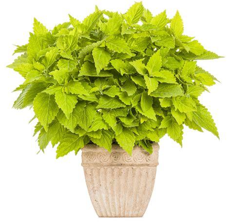 bright green foliage plants colorblaze 174 lime time coleus solenostemon