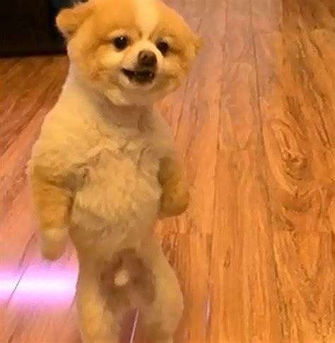 pomeranian walking on hind legs pomeranian walking on back legs breeds picture