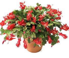 the christmas cactus the other christmas flower grower