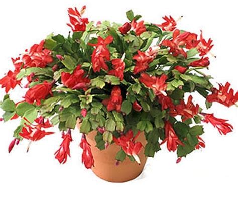 christmas plants the christmas cactus the other christmas flower grower
