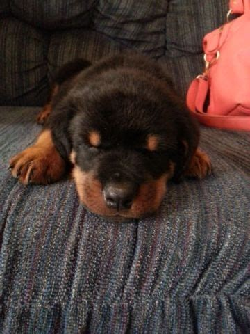 rottweiler puppies for sale in san antonio rottweiler akc pups for sale german bloodline breeds picture