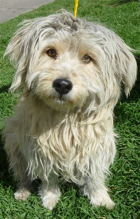 shaggy breeds shaggy breeds breeds puppies different breeds of shaggy breeds