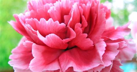 facts about carnations beneva flowers floral facts carnations