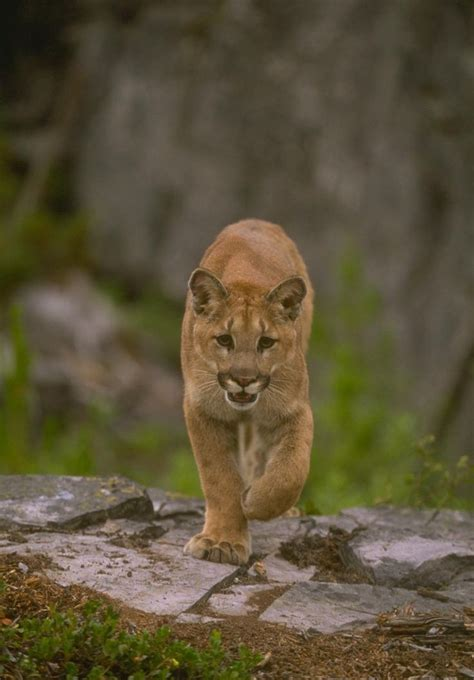Reset Nvram Mountain Lion | 17 best images about mountain lions on pinterest trophy