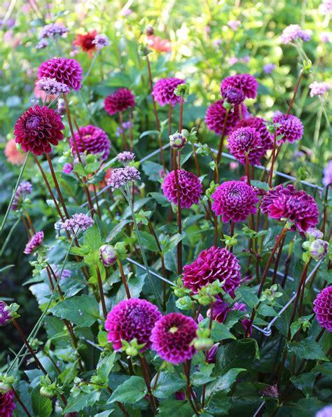 Dahlia Top 2 top performing dahlias for summer 2016 longfield gardens