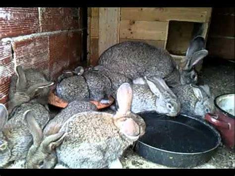 gabbie conigli giganti nidiata conigli giganti allevamento domenico montesano