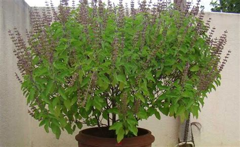 Vastu For Bedroom plant tulsi only in the right direction 1 news track english