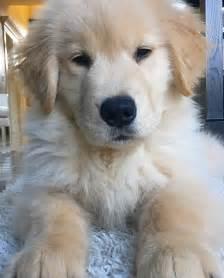 golden retriever puppies alaska best 25 golden retriever wedding ideas on