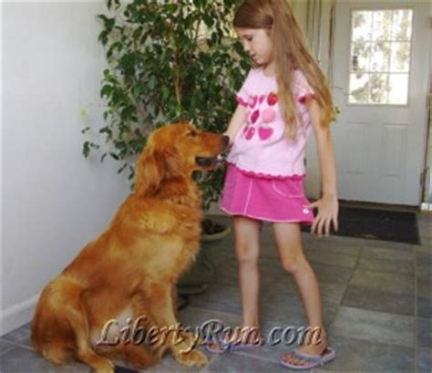 liberty run golden retrievers health clearances for golden retrievers liberty run