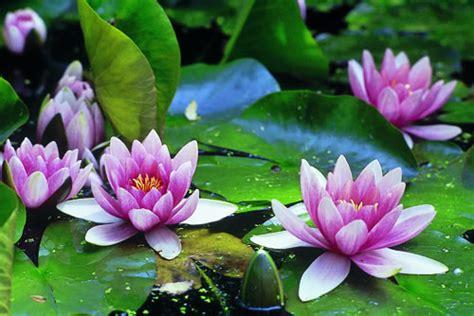 imagenes de flores sobre el agua arte y jardiner 205 a plantas acu 225 ticas