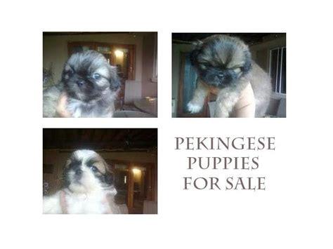 pekingese puppies for sale in florida best 25 pekingese puppies for sale ideas on pekingese puppies pekingese