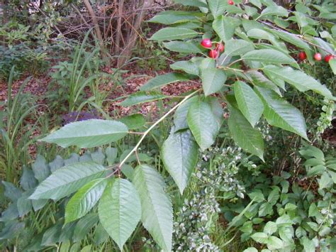 is this a of cherry tree or what is it each fruit has a stem and gr flowers forums