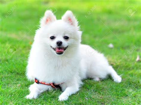 white pomeranian 36 most amazing white pomeranian pictures and photos