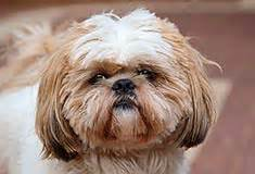 shih tzu temperament lively shih tzu breed information