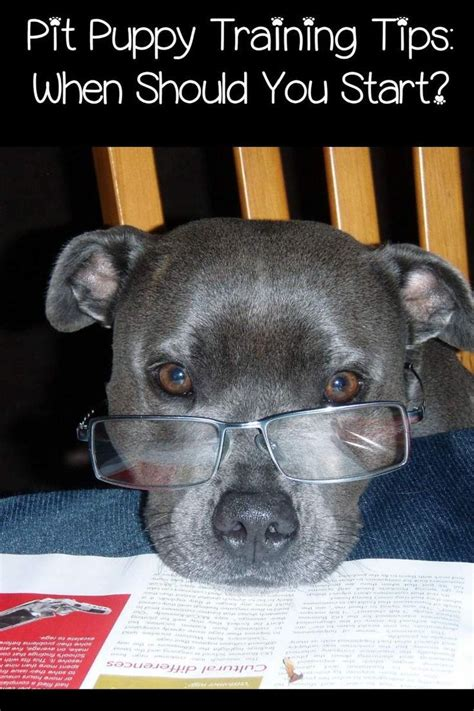 how do you start a in a pit 1000 images about dogs on puppys blue pits
