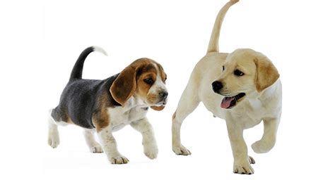 lab beagle mix puppies lab beagle mix a complete guide by the happy puppy site