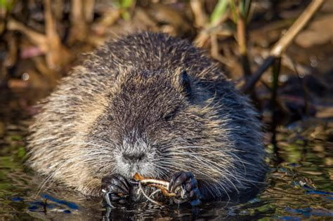 beaver mink muskrat trapping season  changed