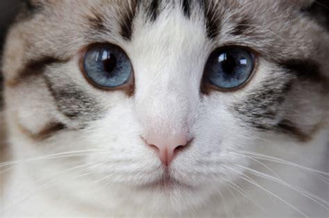 imagenes de ojos verdes de gatos los gatos se comunican con los ojos aprende qu 233 quieren