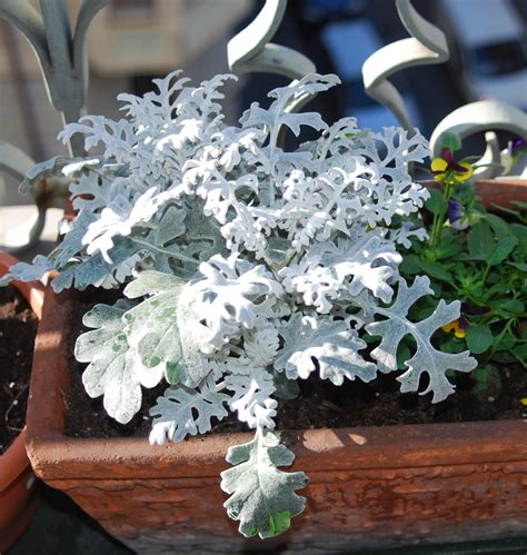 balconi invernali fioriti piante per il balcone d inverno sguardo nel verde torino