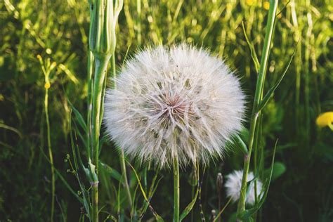 wallpaper bunga dendelion gambar wallpaper bunga dandelion gudang wallpaper