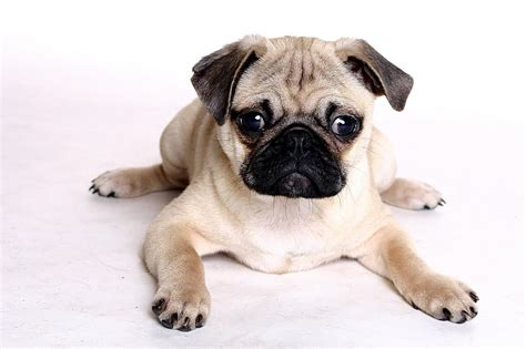 chines pug pugs search engine at search