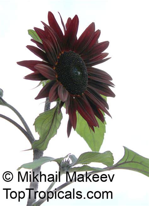 helianthus annuus sunflower toptropicals com