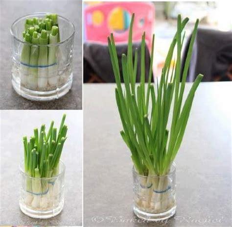coltivare cipolle in vaso 10 ortaggi da comprare una sola volta e coltivare per
