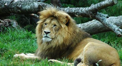 minicuentos de leones y comienza en colombia traslado de leones en cautiverio m 225 s grande de la historia sputnik mundo