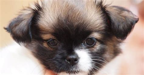 shih tzu pronunciation dictionary half chihuahua and half shih tzu adorable shichi animal and