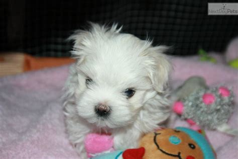 pugs for sale toronto teacup maltese puppies for sale in toronto ontario breeds picture