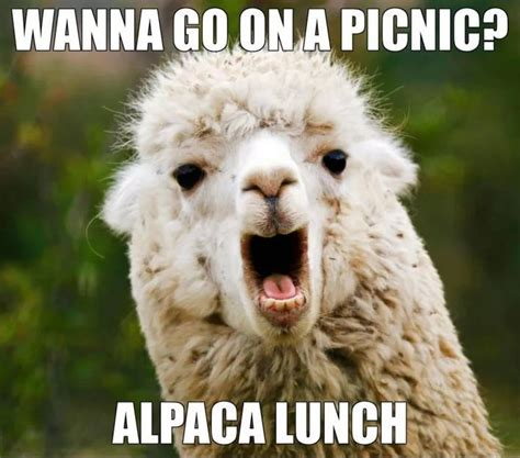 Alpaca Meme - alpaca lunch funny pictures quotes memes jokes